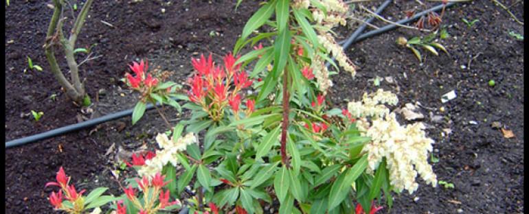 ANDROMEDE OU PIERIS ( plante du mois )