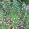 Mon  » opuntia subulata monstruosa «