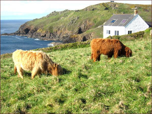 vaches Cornouaillaises