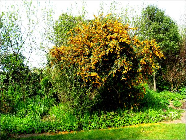 berberis en fleur