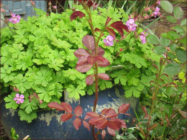 geranium macrorhisum