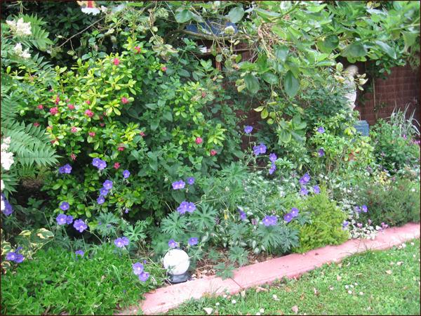 geraniums Johnson blue
