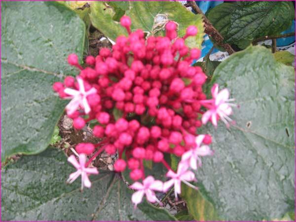 clérodendron-avant-la-fleur1