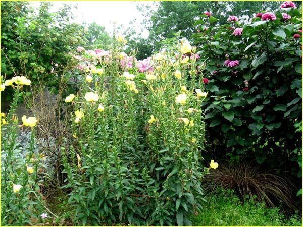 oenotheres jaunes