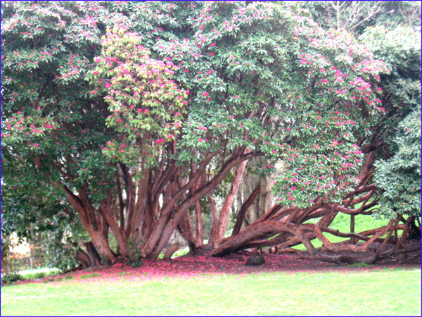 rhododendrons immenses