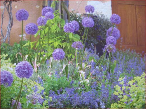 "alliums"" gigantéums"""