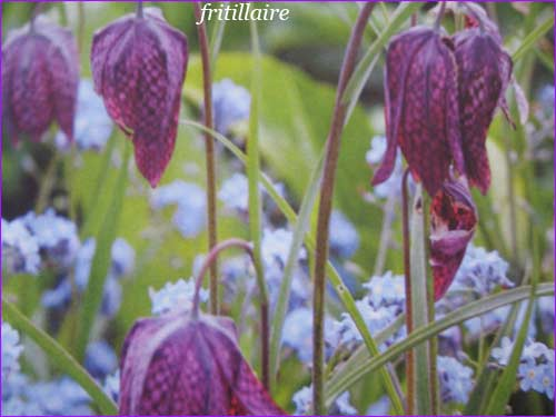 fritillaire ( bulbe )