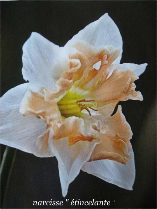 narcisse orchidée