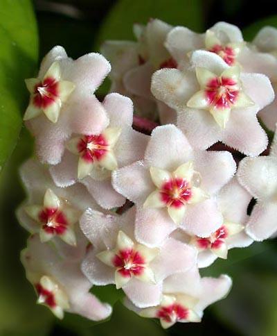 fleurs de l'hoya carnosa