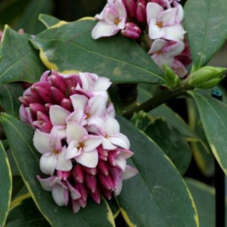 daphne-odora-aureomarginata