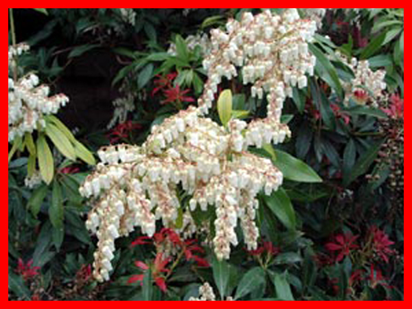 pieris-andromede( fleurs)