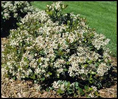 raphiolepis-indica1