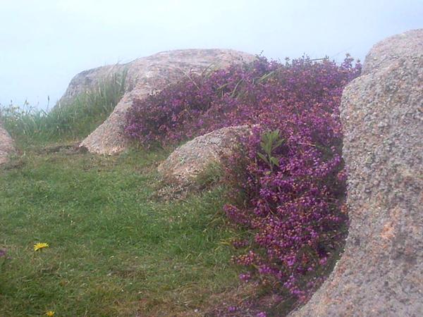 bruyères se délassant entre les rochers