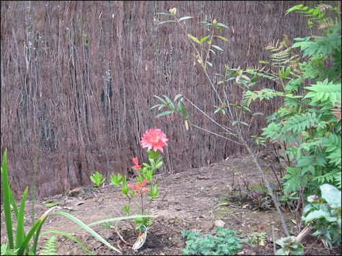 scille du Pérou