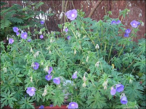 geraniums-johnson-blue