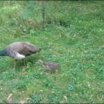 femelle-paon-et-son-petit