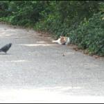 pigeon-et-chat
