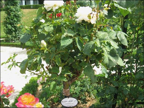 rosier-jeanne-moreau