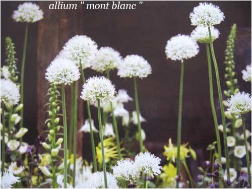 allium-mont-blanc