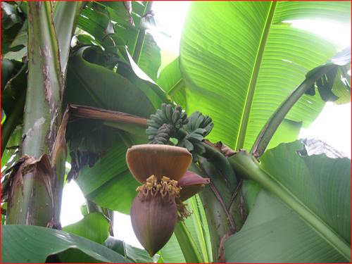 bananes-2010