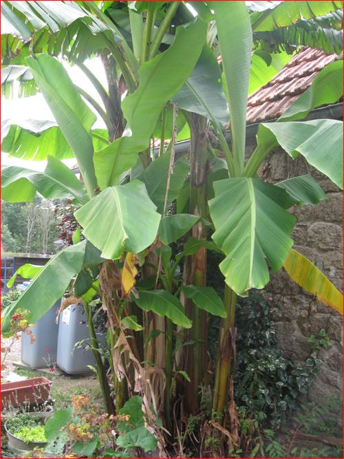bananier-2010