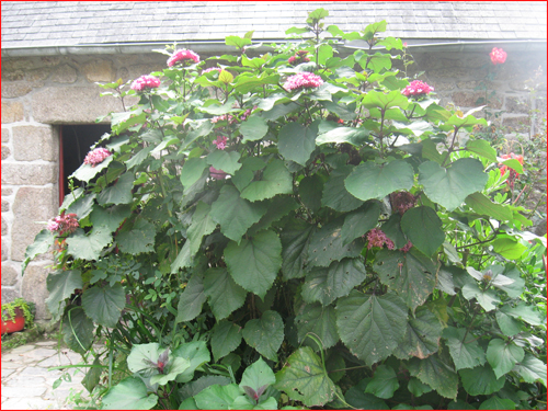 clerodendrons