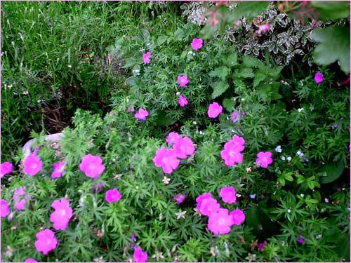 parterre-de-geraniums