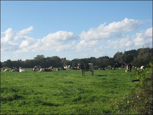 troupeau-de-vaches