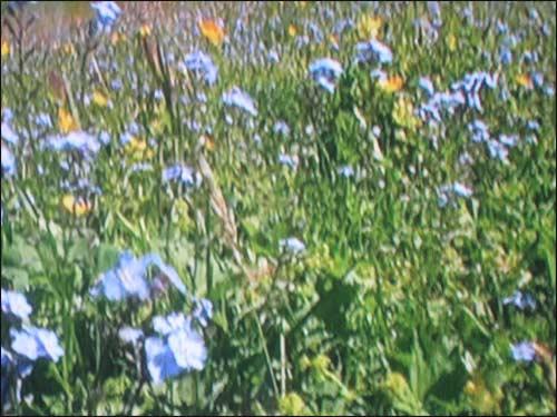 fleurs-bleues-de-montagne