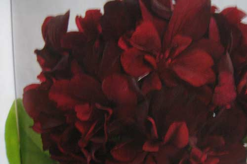 pelargonium-costa-dorada-burgundy