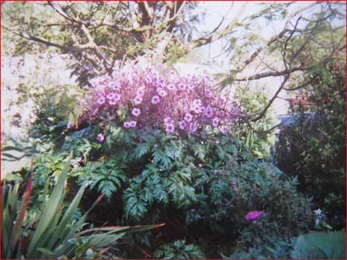 geranium-de-madere