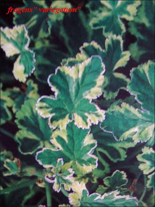 p-fragrans -variegatum