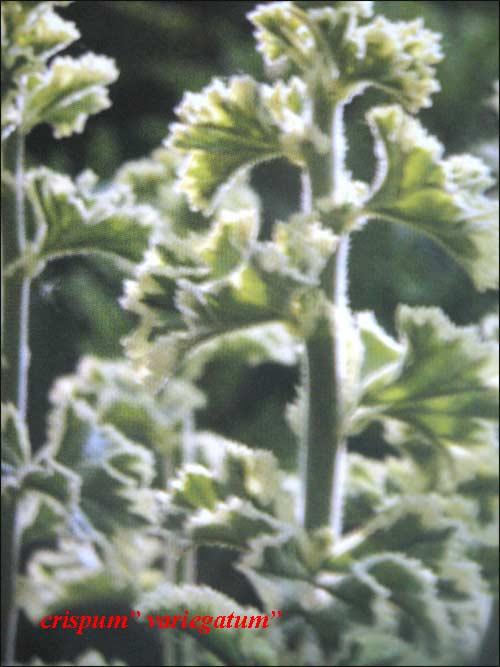 crispum-variegatum