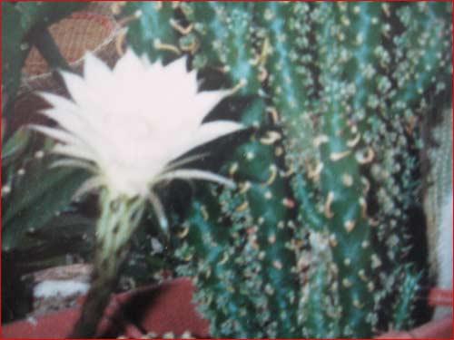 cactus-en-fleu