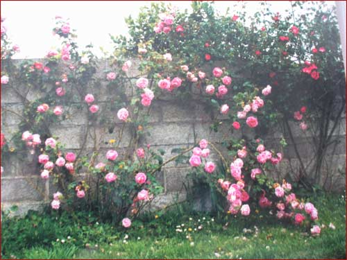 roses-anciennes