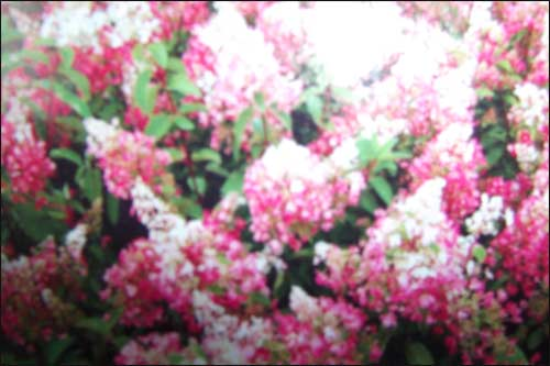 hydrangea-paniculata-pinky
