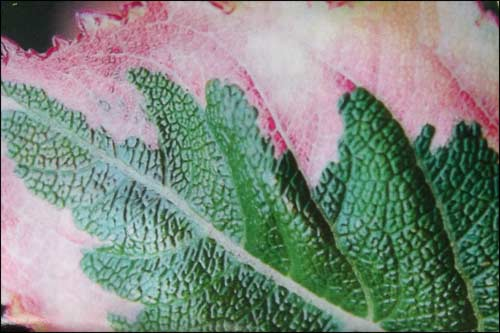 weigelia-magical-rainbow