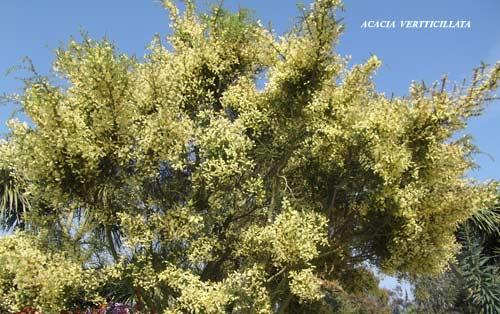 acacia-verticillata