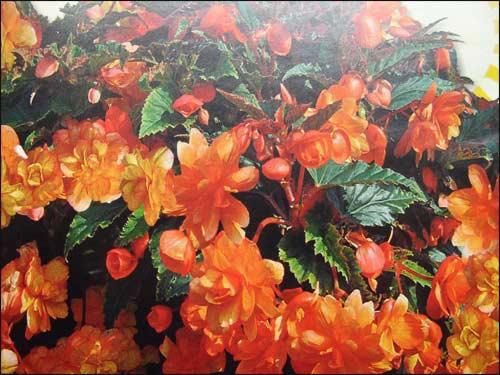bégonia-cascade-illumination