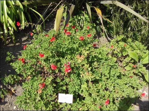 geranium-odorant