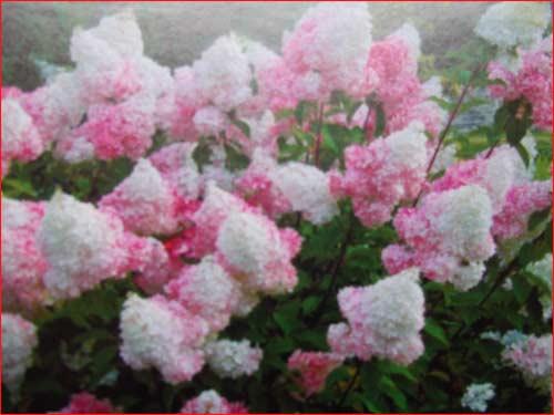 hydrangea-vanille-fraise