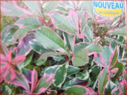 photinia-pink-marble