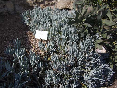 plantes-bleues