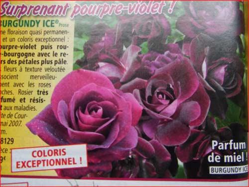 Rose-burgundy