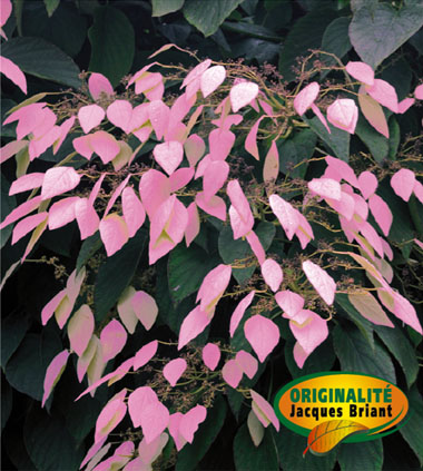 schizophragma_rose_sensation