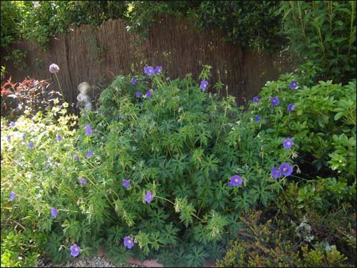 "geranium-""Johnson-blue"""