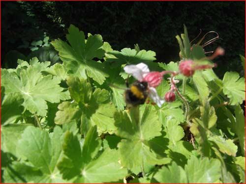 geranium-macrorrhisum