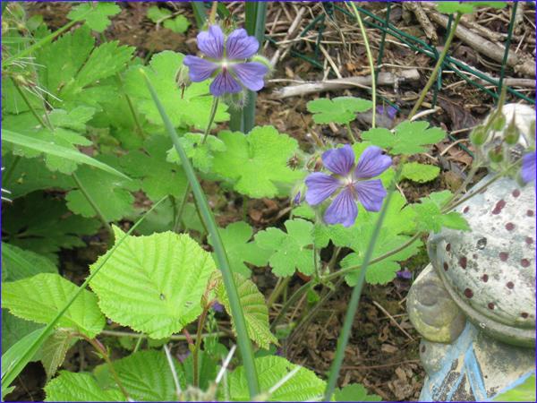 geraniun-renardii-bleu