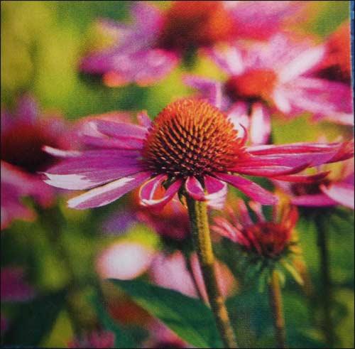 """echinacea-purpurea"""" magnum"""""""