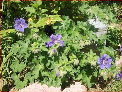 geranium-johnson-blue